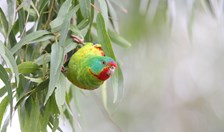 Swift parrots have been upgraded by the IUCN to 'critically endangered' status.
