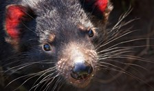 A safety population of devils is preparing to release 22 adults into a disease-free island of Tasmania.
