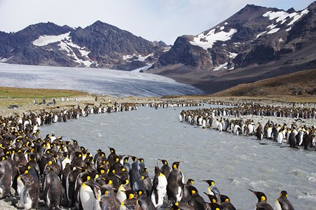 King penguins return each year to breed in the subantarctic colony where they were born, the biggest of which is on South Georgia.