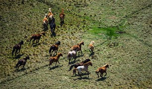 Brumbies have the run of grassy Currango Plain in Kosciuszko NP.