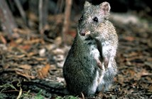 The critically endangered Gilbert's potoroo to join 'conservation hit list'