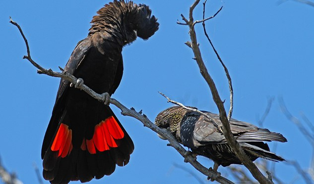 In 2015, the AG Society raised $27,648 to help fund conservation efforts for the red-tailed black-cockatoo.