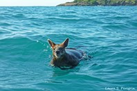 The swamp wallaby likely took to the water to cool off or avoid a predator.