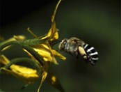 The Australian blue-banded bee (Amegilla murrayensis) was recorded 'head banging' 350 times per second to loosen pollen.