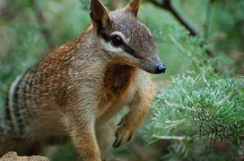 numbat, fauna, Australian animals