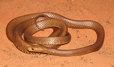 The western desert taipan, discovered in Western Australia in 2006.