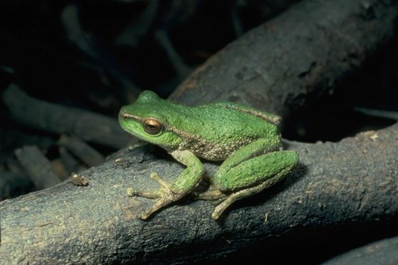 Spotted tree frog litoria spenceri