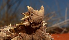 thorny devil (Moloch horridus) top ten animal adaptations Australian Geographic