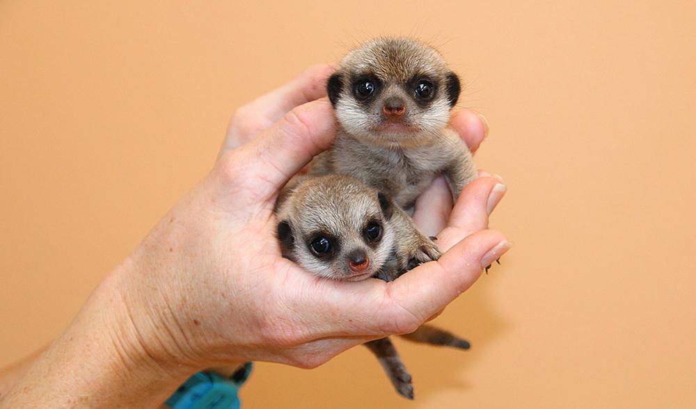 Baby meerkats taronga zoo