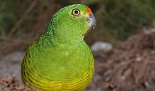 Western Ground Parrot Kyloring Australian Endangered Species