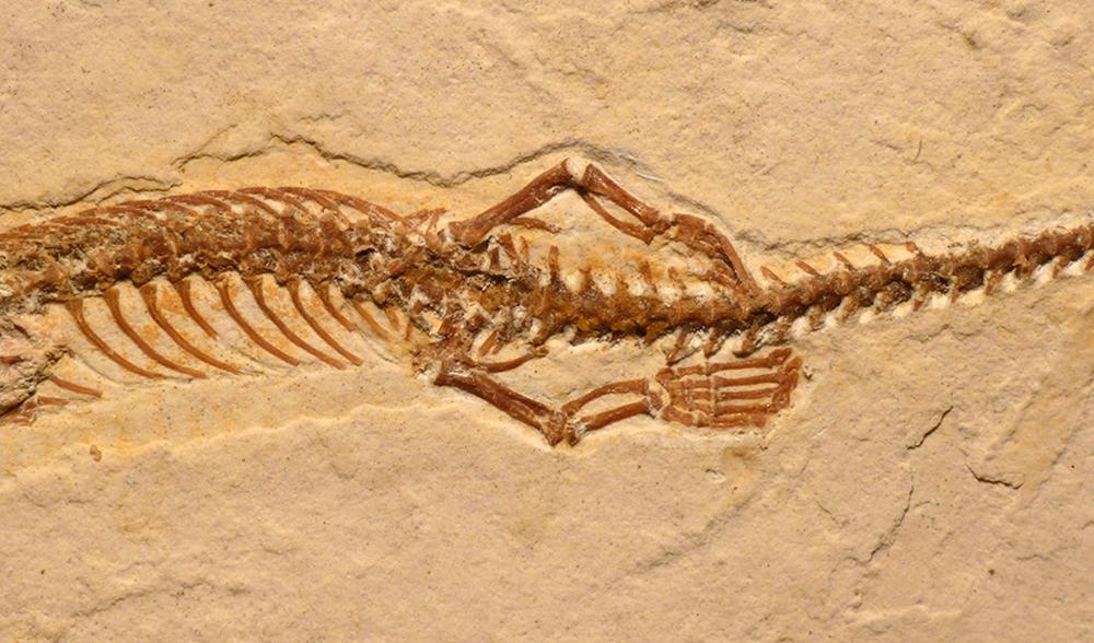Four legged snake fossil