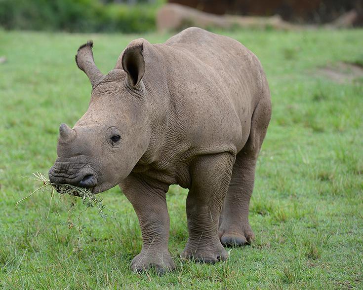 Humphrey Australia Zoo white rhino