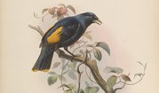 1873 drawing of Rawnsley's bowerbird.