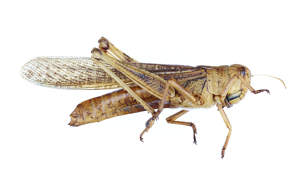 Eating insects Locusta migratoria