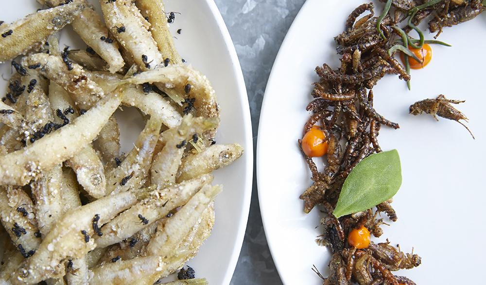 Eating insects Locusta migratoria