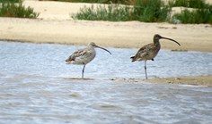eurasian and eastern curlew photographed by bird watchers in WA