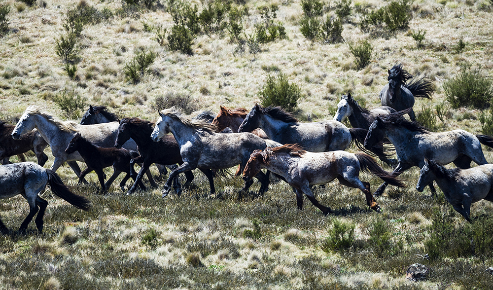 Brumbies Kosciuszko National Park