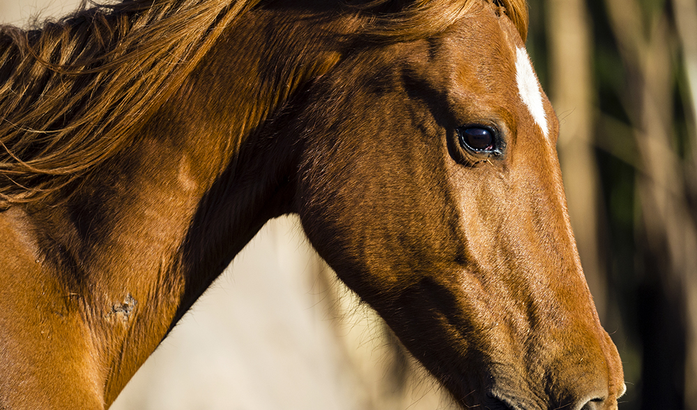 Where The Wild Horses Are Australian Geographic