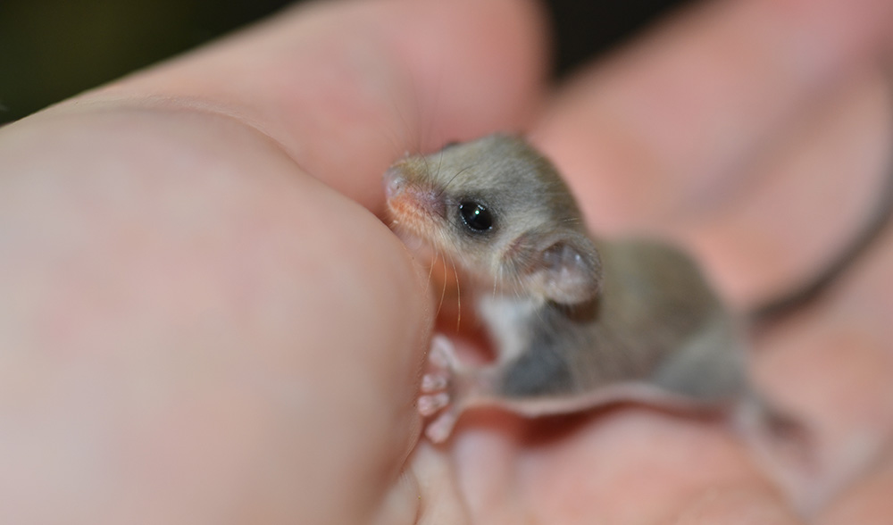 Baby feathertail gliders