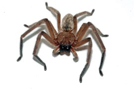 The social Huntsman spider (Delena cancerides) lives in groups of up to 150, lead by a matriarch.