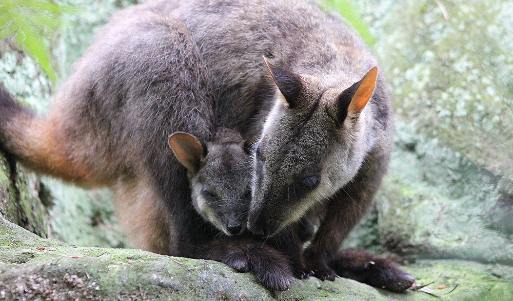 brush tailed rock wallaby joey