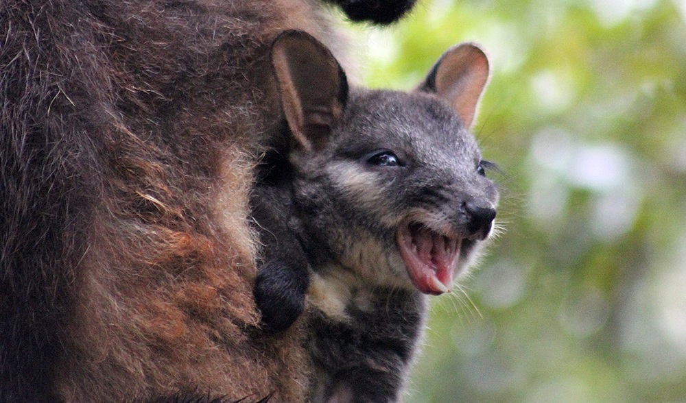 brush-tailed rock wallaby joey