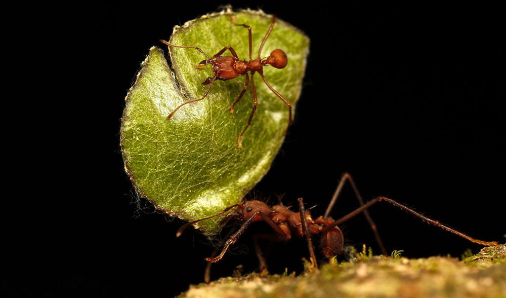 Leafcutter ant insect consciousness