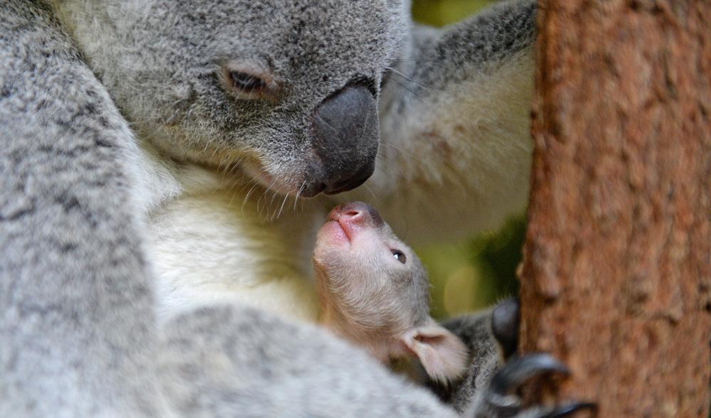 Koala joey australia zoo