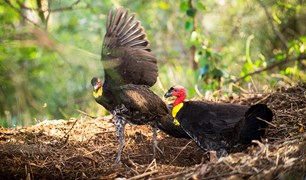 brush turkeys