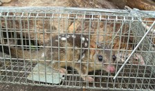 Northern quoll in a cage