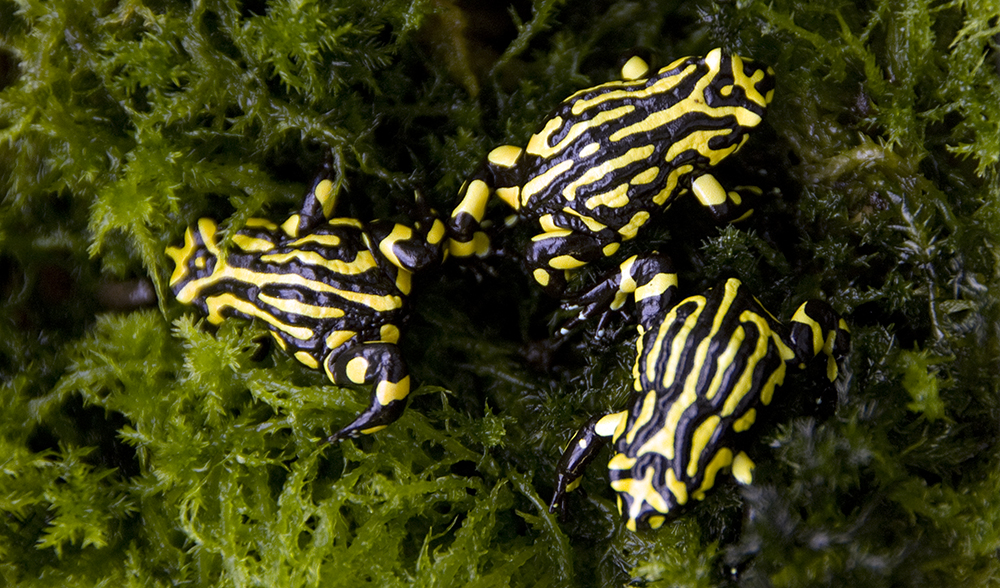 Thousands of endangered frog eggs released - Australian ...