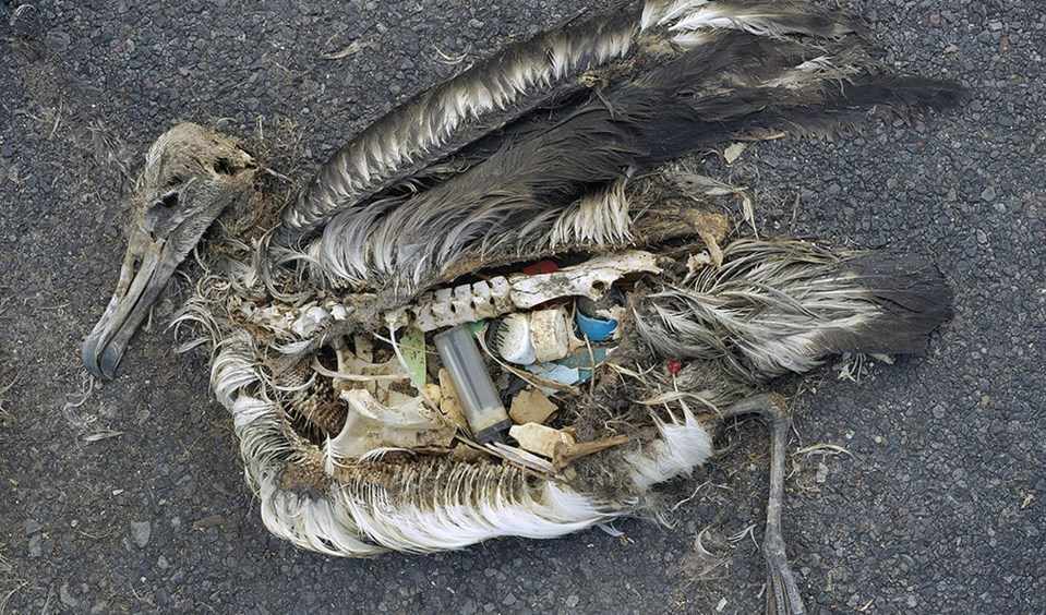 Dead albatross stomach contents with plastic