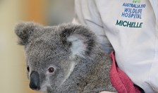 koala australia zoo wildlife hospital