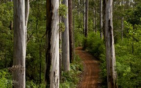 Karri forest trees scenic drive western australia warren national park
