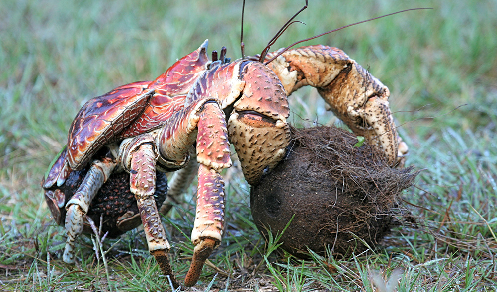 Robber crab