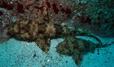 wobbegong sharks manly