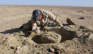 Palaeontology assistant and student Mainbayar Buuvei excavates a dinosaur fossil.