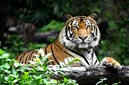 sumatra tiger indonesia