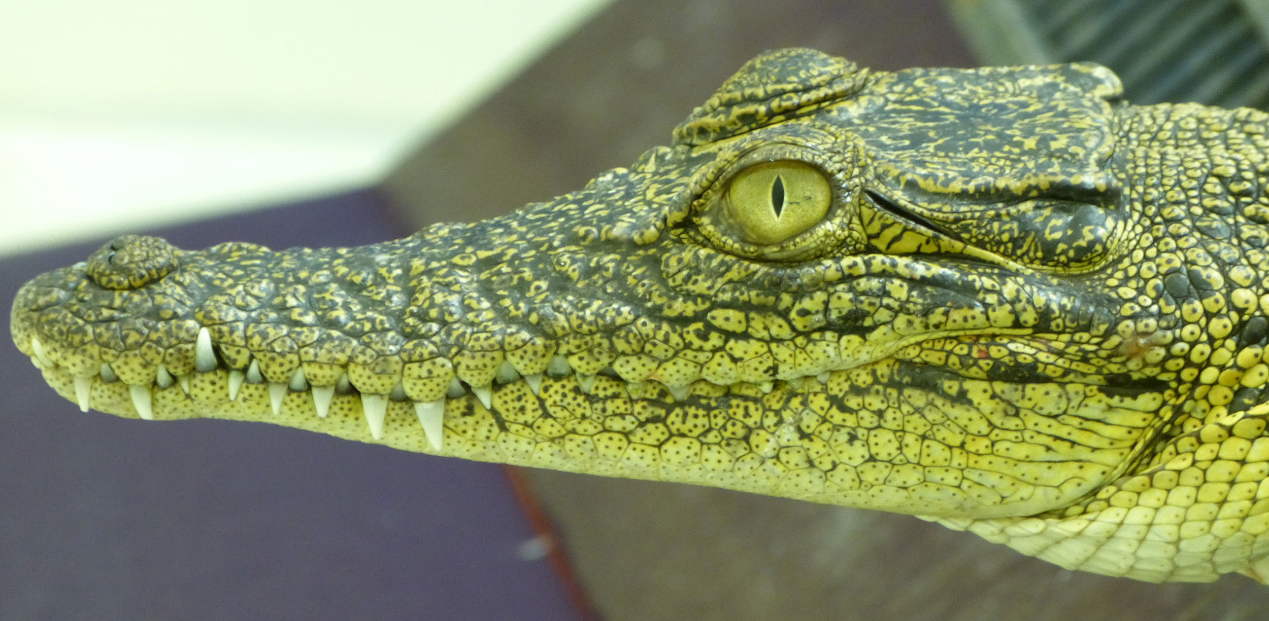 Crocodile eyes more sophisticated than previously thought ...