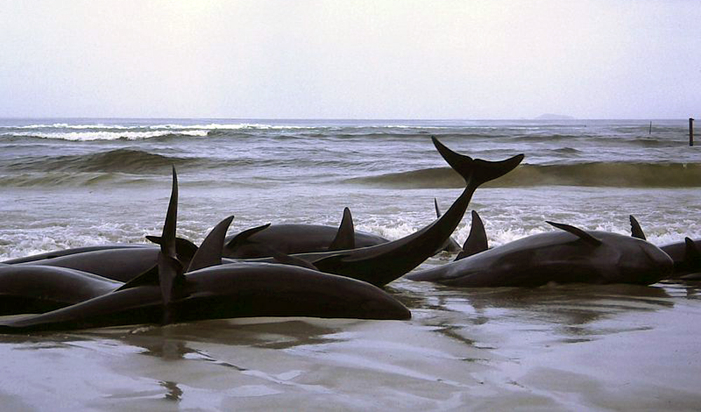 Beached whales stranded