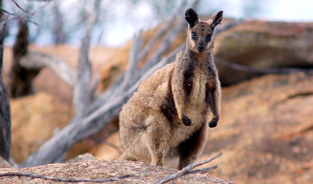 Bright Future For Endangered Rock Wallabies Australian Geographic