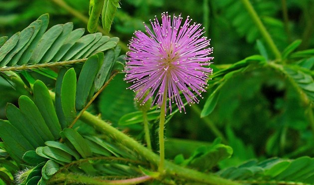 common sensitive plant