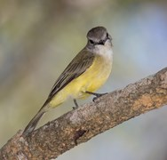 Lemon Bellied Flycatcher (Microeca flavigaster), also known as a  Lemon Bellied Robin, strikes a pose on a tree branch  in the Fogg Dam conservation reserve, Northern Territory.