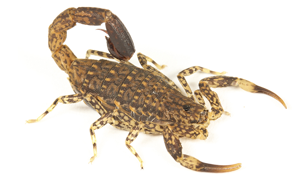 Australian scorpion