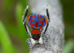 Maratus bulbo peacock spider