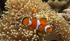 Anemonefish, colloquially known as clownfish, currently face a number of threats.