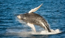 whale breaching queensland