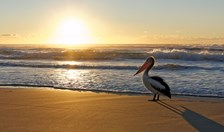 Pelican on a beach at sunrise Australia