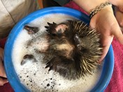 Biddy the echidna bubble bath