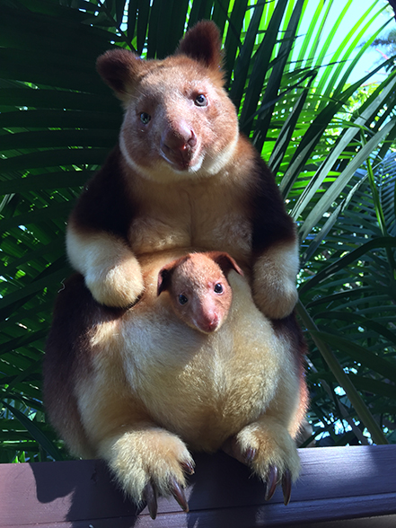 Each individual Goodfellow's Tree Kangaroo has a unique ...
